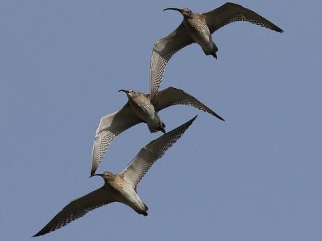 Große Brachvögel